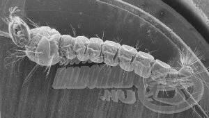 A fekete szúnyoglárva a csípő szúnyogok (Culicidae) családjába tartozik…