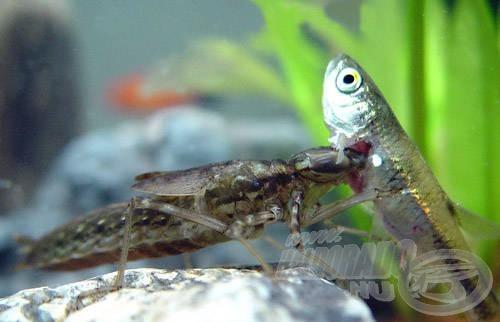Egy nagy szitakötőlárva nem viccel - ha ilyesmit akarunk tartani, a halak válnak eleséggé, nem a rovarlárva!…