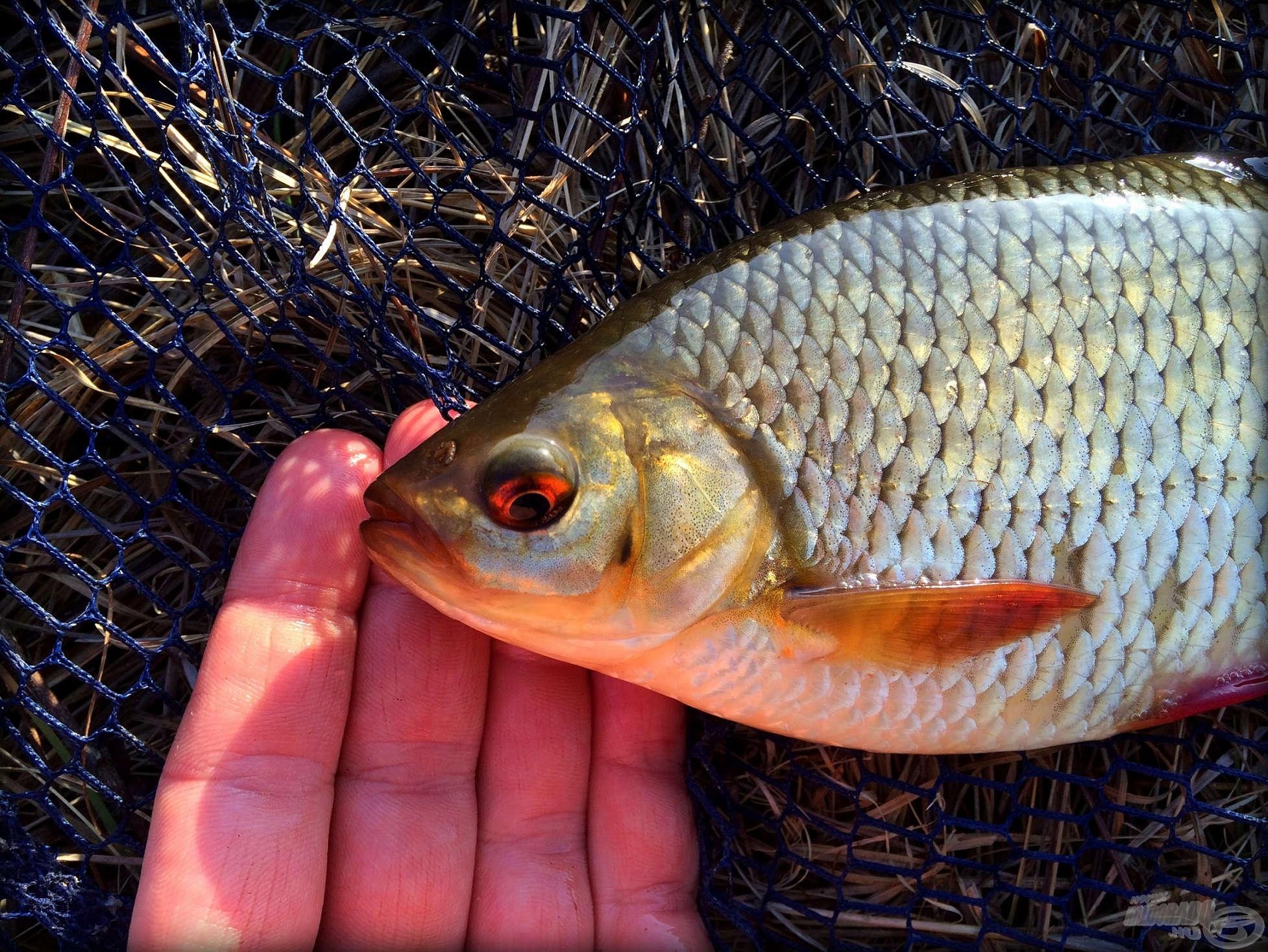 A csatorna jellegzetes hala
