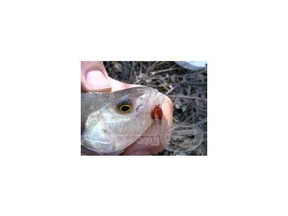 A sügér horgászata 7.