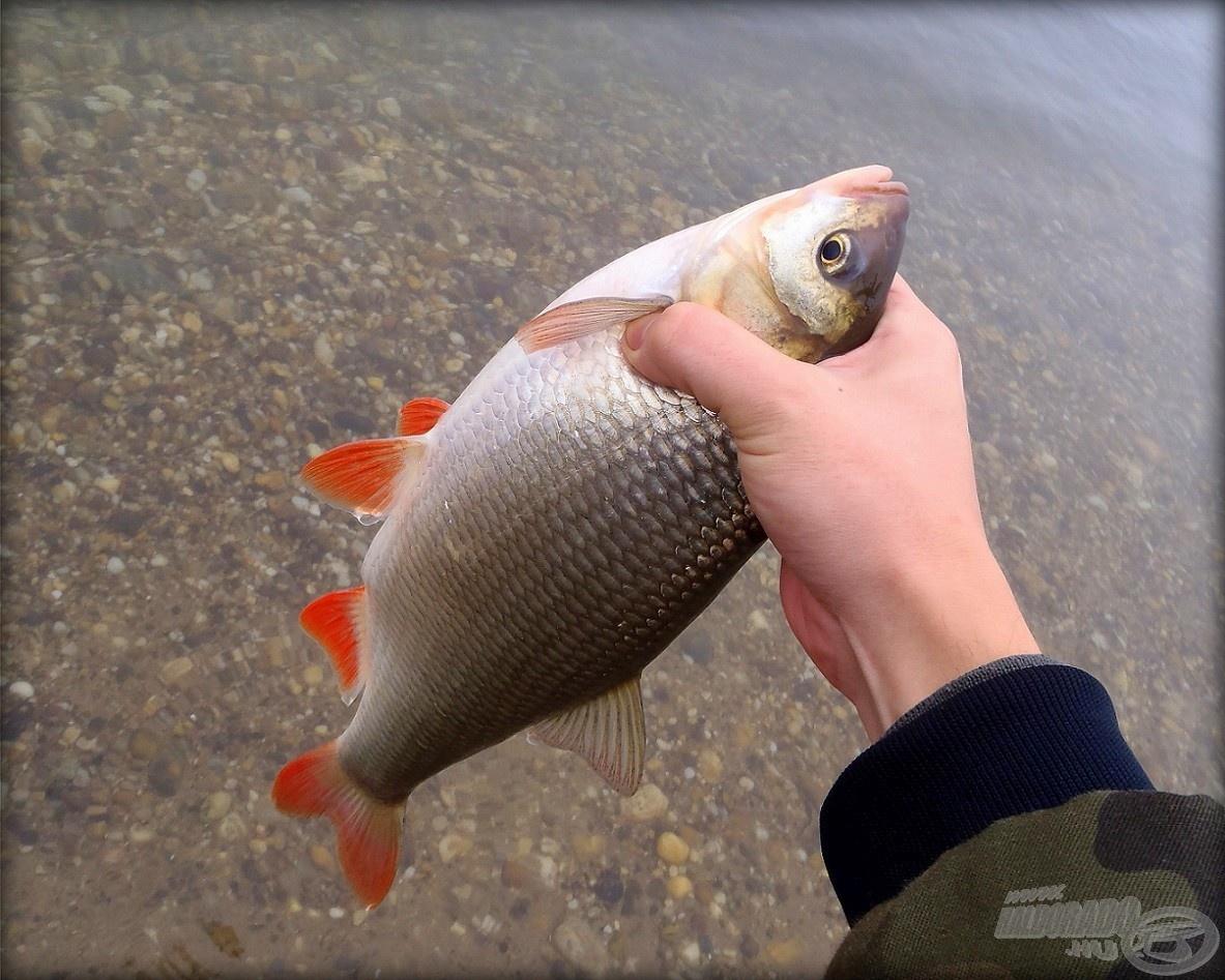 Egy újabb szép dunai hal a jászkeszeg