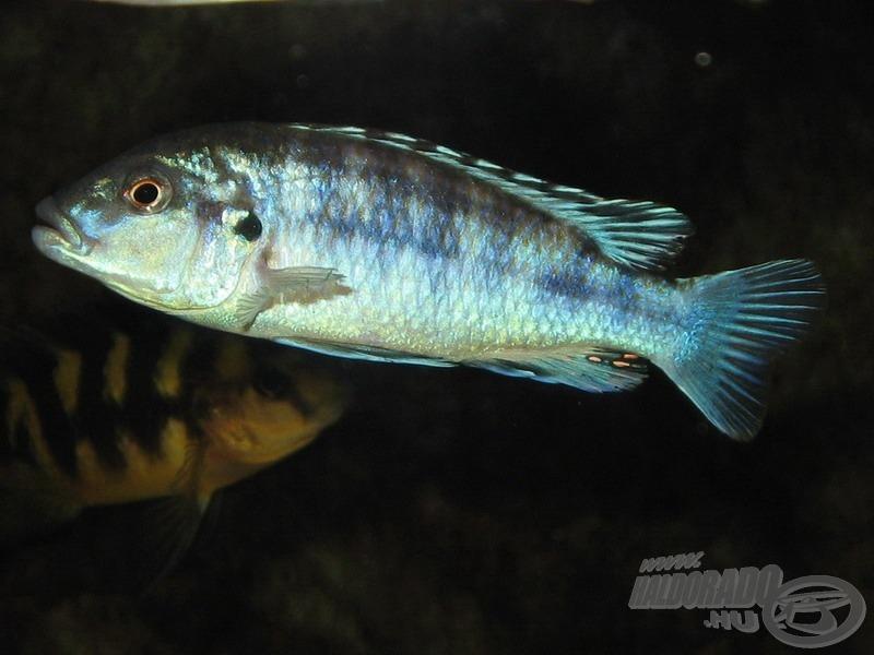<i>Melanochromis joanjohnsonae</i> vagy más néven <i>M. exasparatus</i> hím és…