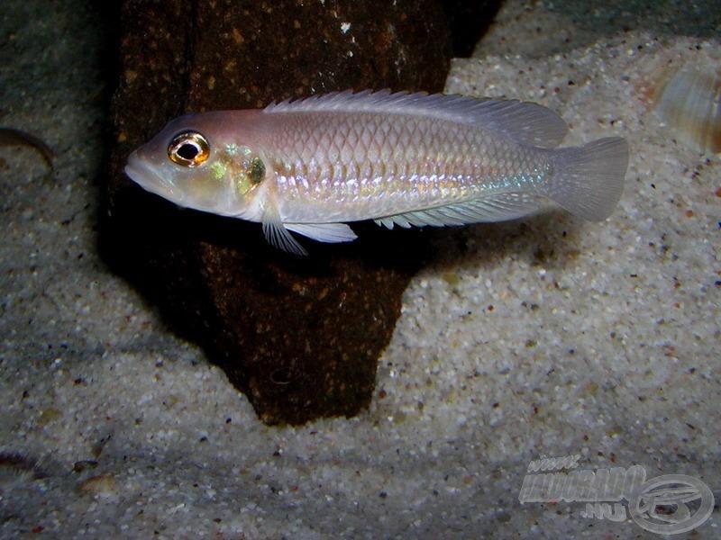 Buldog csigasügér (<i>Lamprologus ocellatus</i>)