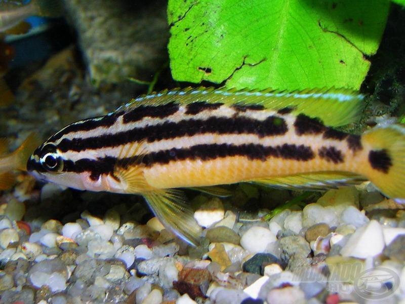 Háromcsíkos torpedósügér - <i>Julidochromis ornatus</i>