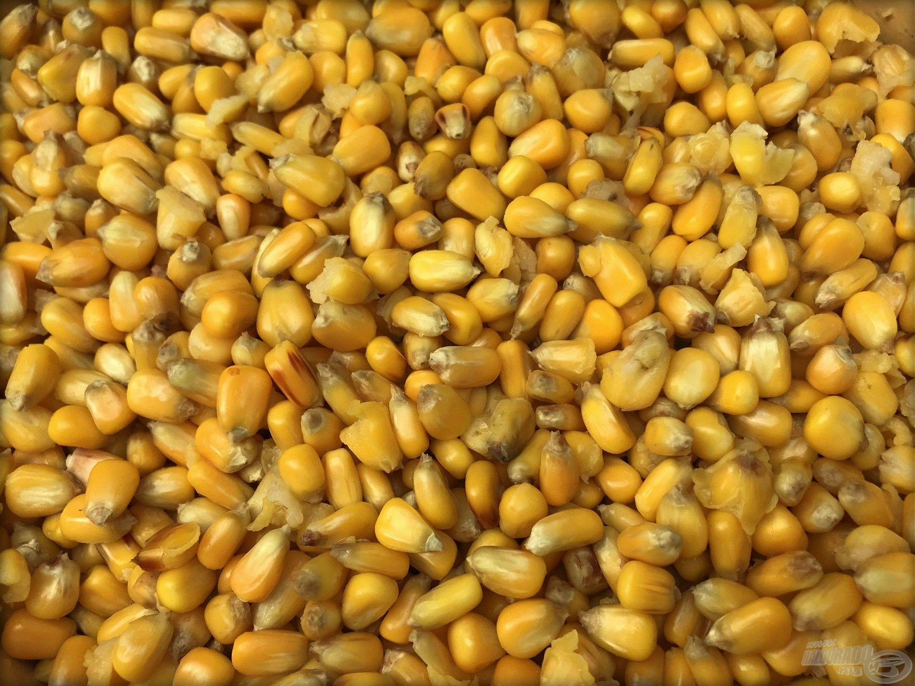 Főtt takarmány kukorica…