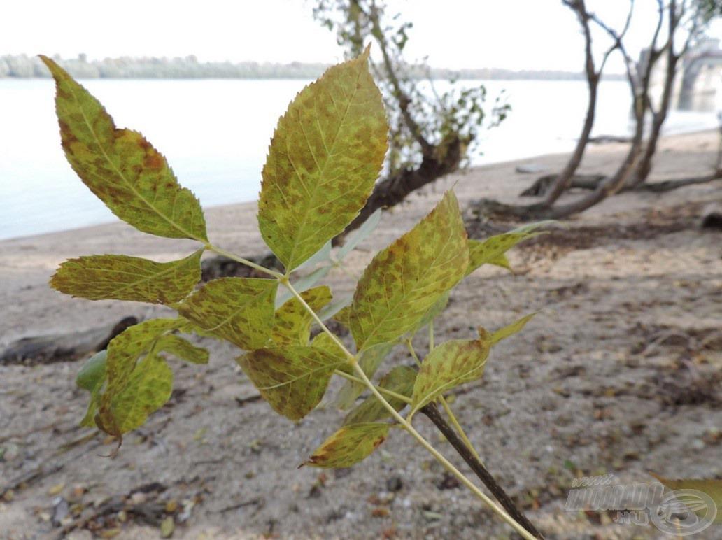 A dunai fák levelei is zöldből sárga színekbe mennek át