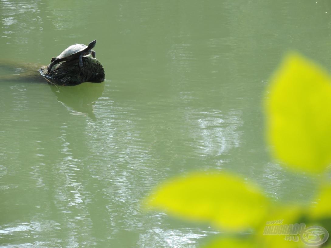 … és a közelben egy teknős is feltűnt