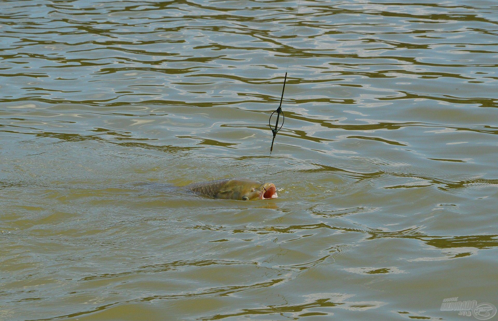 Jézusom, hova akadt az a horog! Beleborzongok, amikor az ilyen képeket visszanézem, de a lényeg, hogy nem engedte el a halat