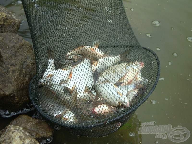 Laci zsákmánya. Durván három és fél óra horgászat eredménye úgy, hogy sok időt szereléssel is eltöltött