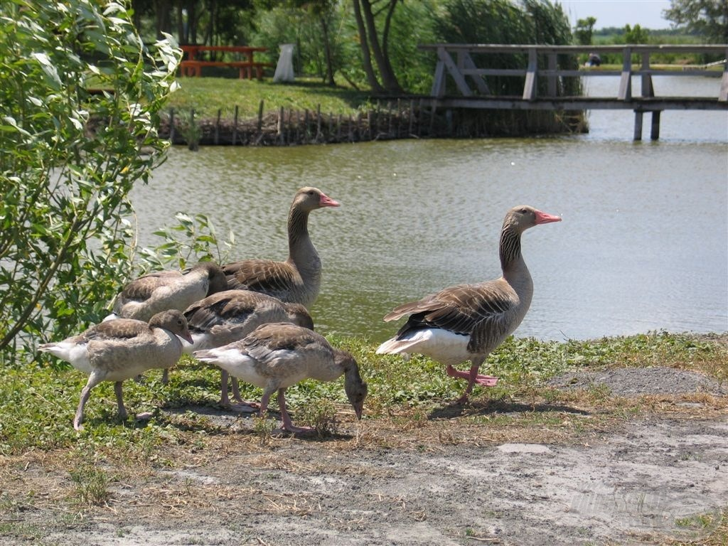 A védett nyári lúd (Anser anser L.) költőterülete a horgászpark és környezete