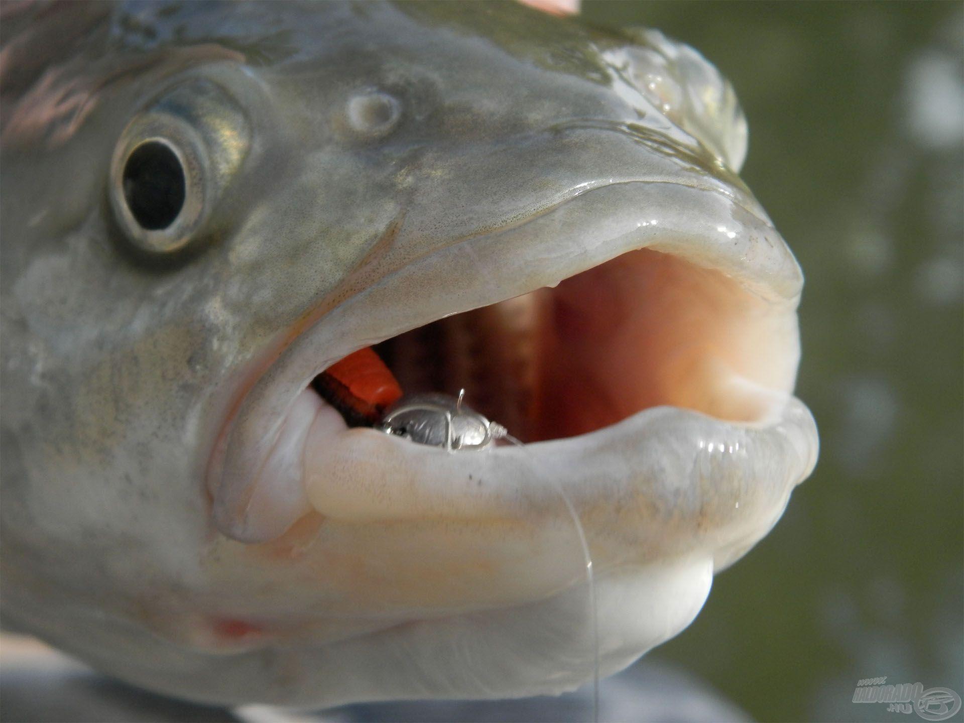 Pici plasztikokkal a legpasszívabb halak is megfoghatók