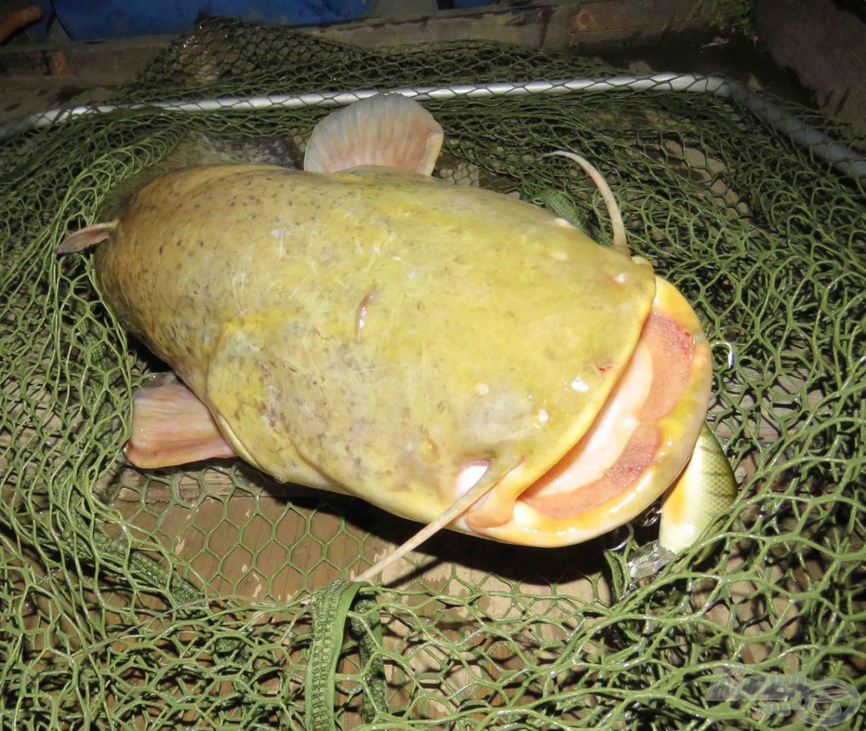 A Nevis óriás merevkeretes merítőbe akár egy tízkilós harcsa is könnyedén beleterelhető