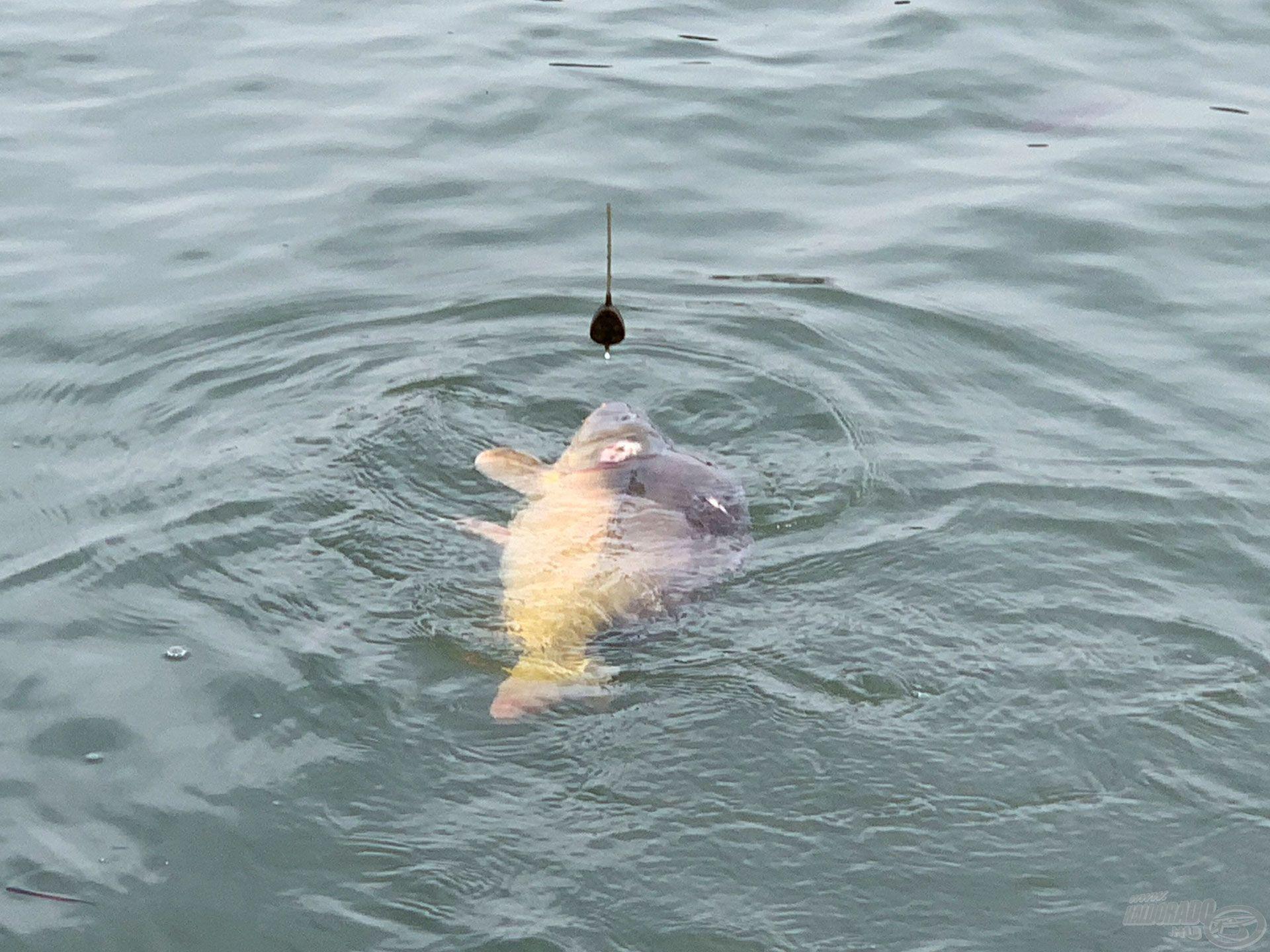 Ezúttal egy fokkal termetesebb hal volt a horgomon