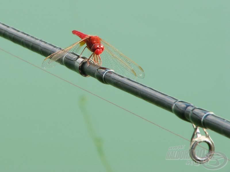 Ne csodálkozzunk, ha a vízparton más is kitapasztalja ottlétünket, mint például ez a feederbotot kedvelő szitakötő…
