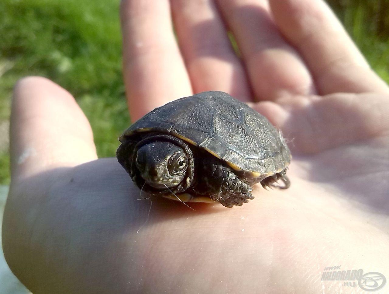 Még egy apró teknős is megfigyelt a parton