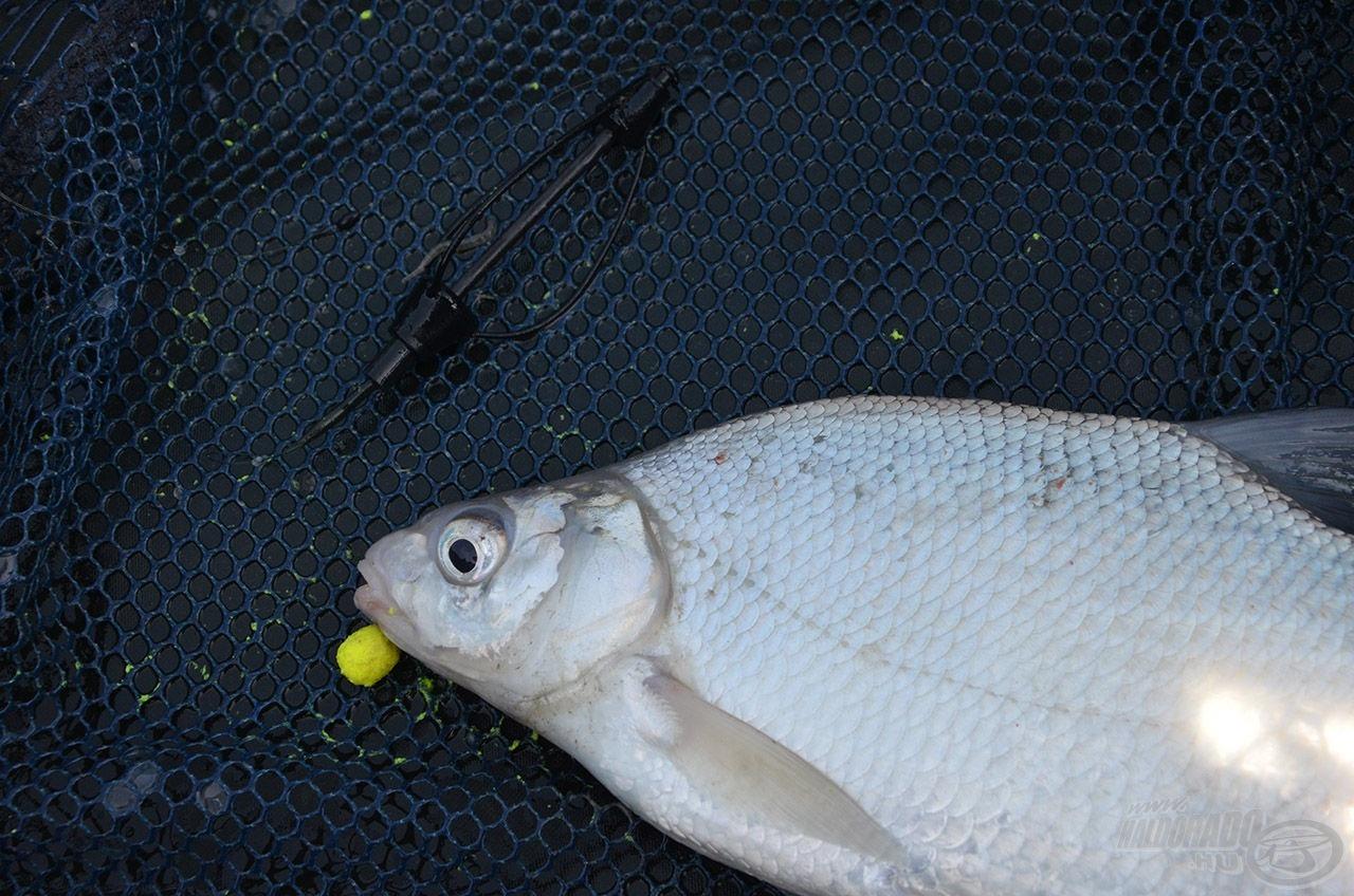 Az első halacska, amely partra is került egy szép dévér volt, amely az Édes Ananász pelletre csábult el