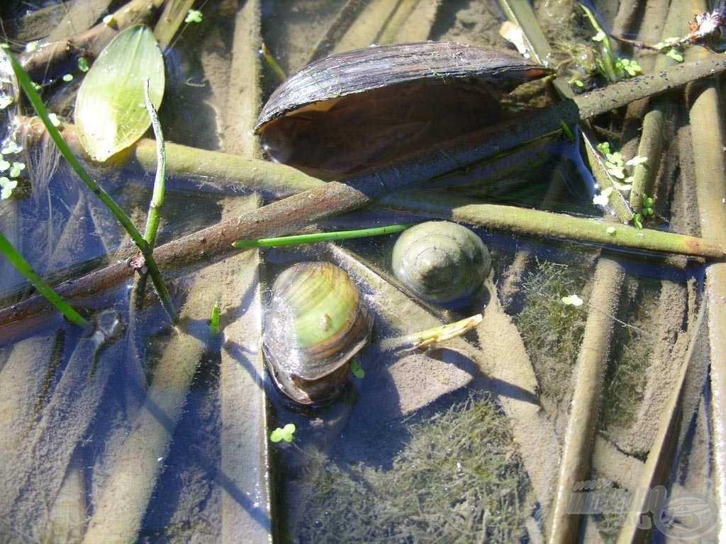 A tóban nagy létszámban jelenlévő csiga és tavi kagyló kiváló táplálékbázis a halaknak