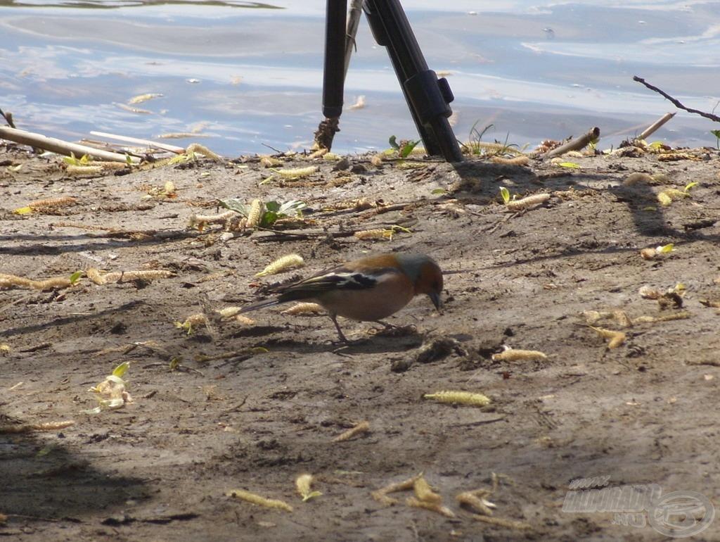 Gyakori vendégek voltak a vízpart kisebb madarai, amik a lehullott etetőanyag morzsákat fogyasztották