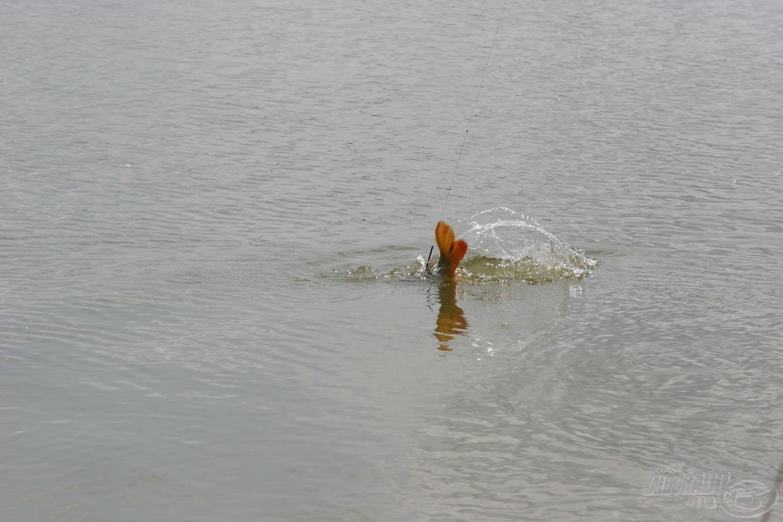 … gyakran visszatörtek a mély vízbe, ahonnan kemény küzdelem után lehetett csak felhúzni őket ismét…