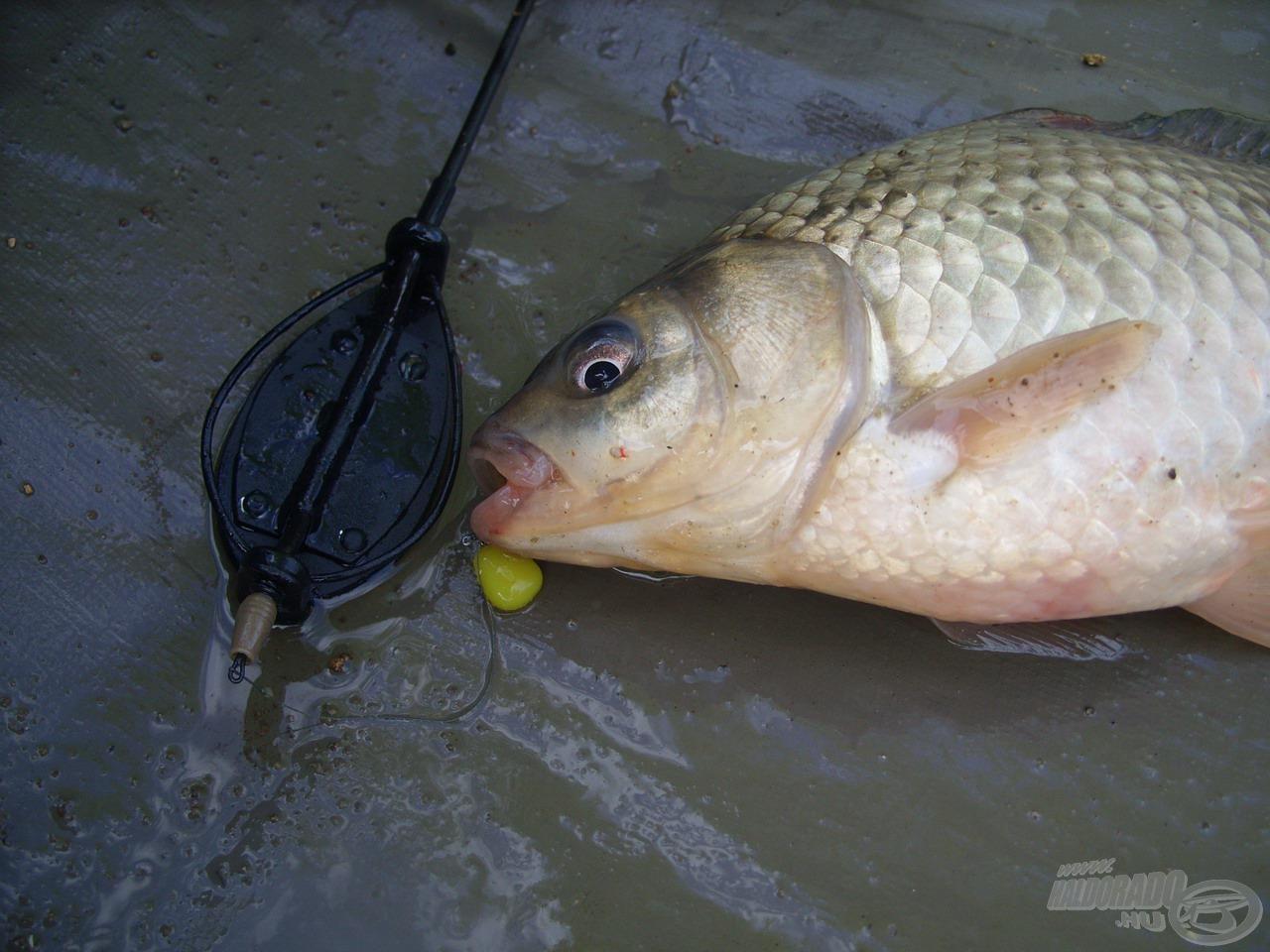 A horgászat elején nagymennyiségű ezüstkárász tartózkodott az etetésemen, amelyek pillanatok alatt megtalálták a pici SpéciCorn csalit