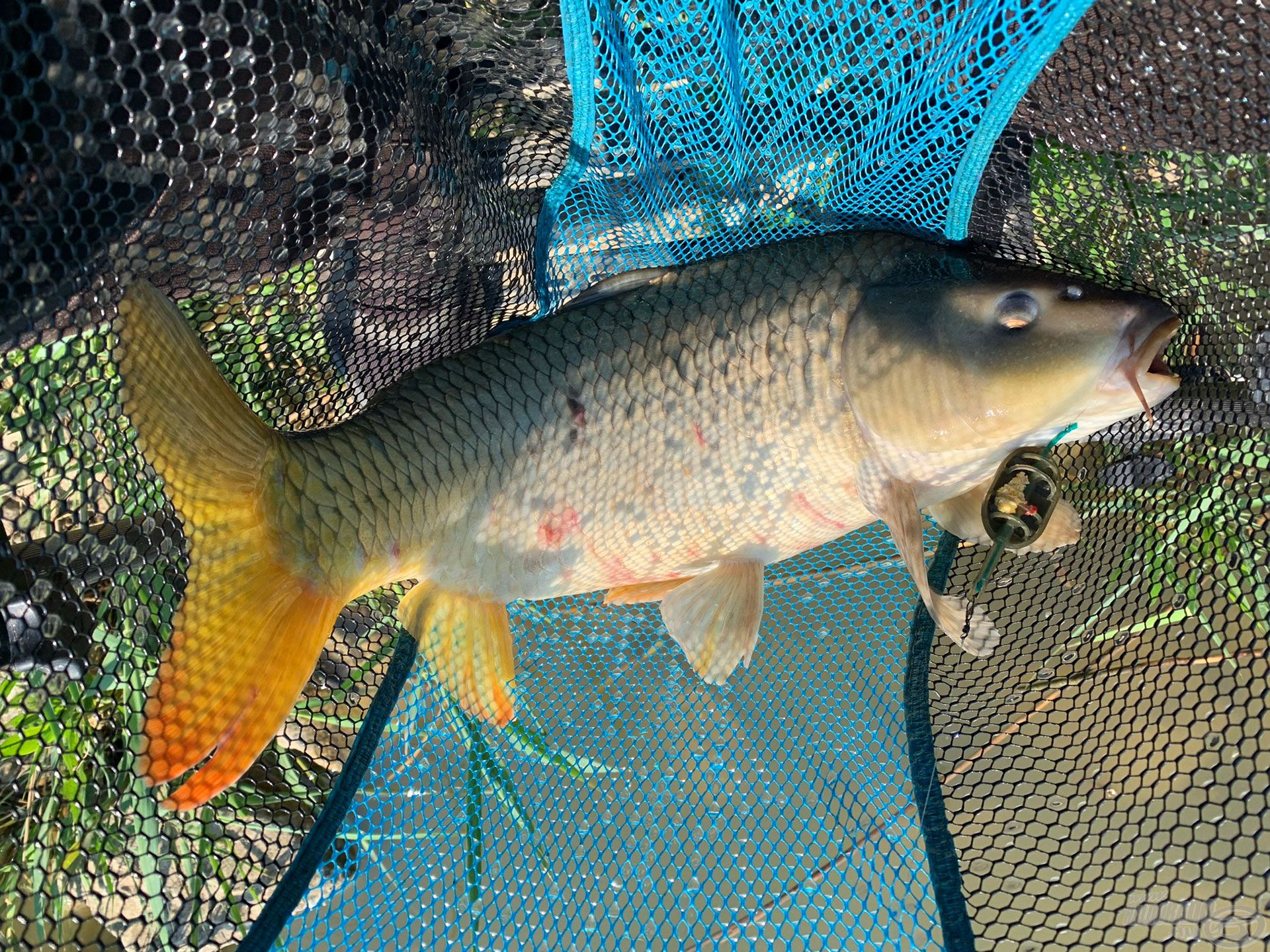 Az első hal egy szép ponty volt kb. 3 méterrel az etetés mögül