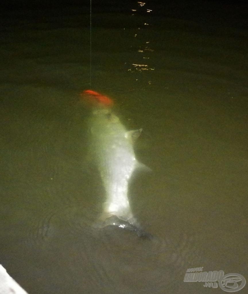 Az éjszaka első halai gyakran balinok