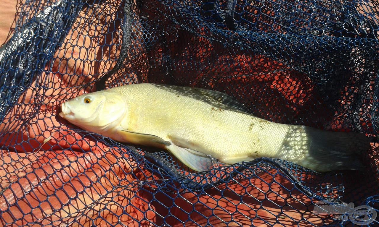 Ez a keszegek közé furakodó compó gyorsan prezentálta a tó színes halállományát