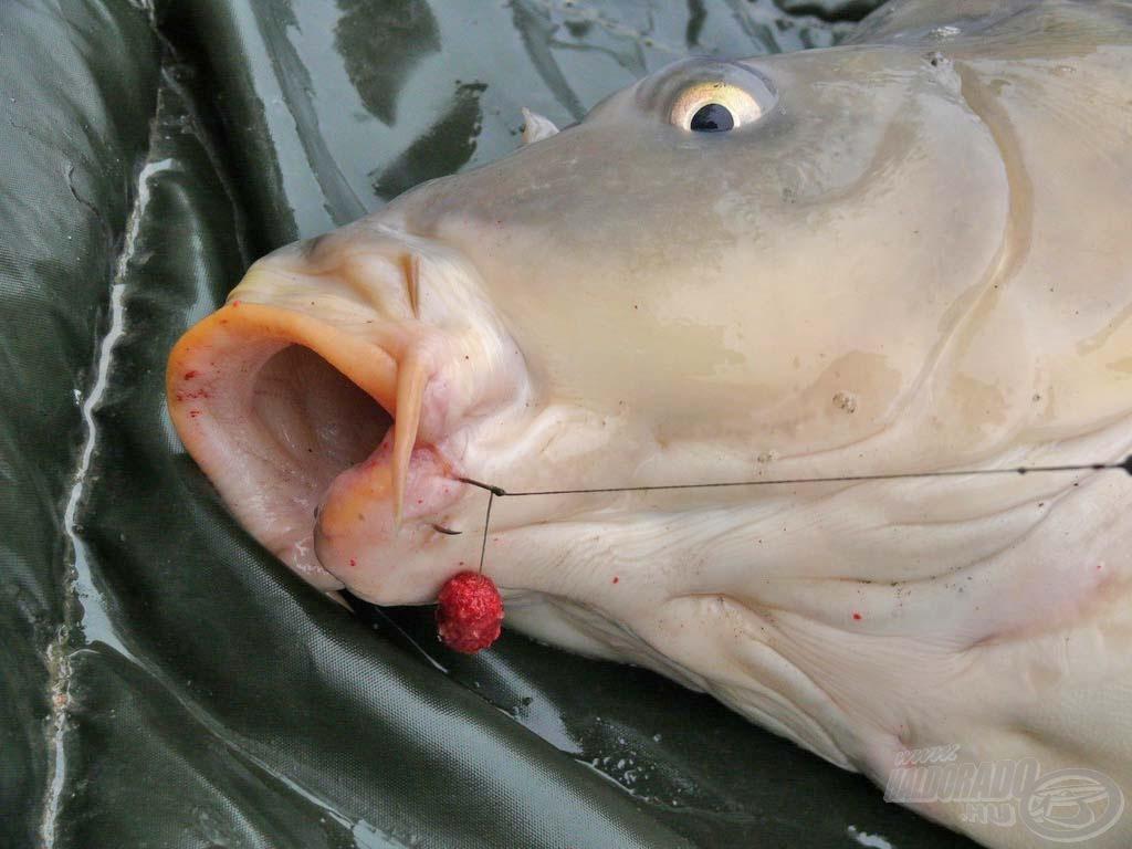 Érdekesen akadt a horog, de így is meglett a hal. Még a csali is látszódik a hajszálelőkén