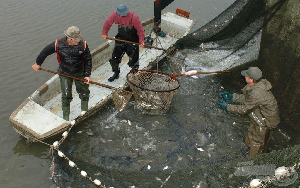 A Hortobágyi Halgazdaság biohal előállítására (is) szakosodott