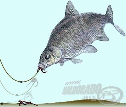 Az elmozduló jelzőólom és az emiatt emelkedő úszó még nem jelenti, hogy a csali és a horog már bizonyosan a hal szájában van!
