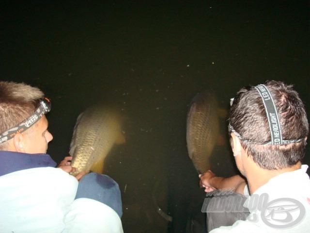 A bojlis horgászat lényege. Felemelő érzés az otthonába úszó pontyok látványa, amint visszatérnek éltető elemükbe