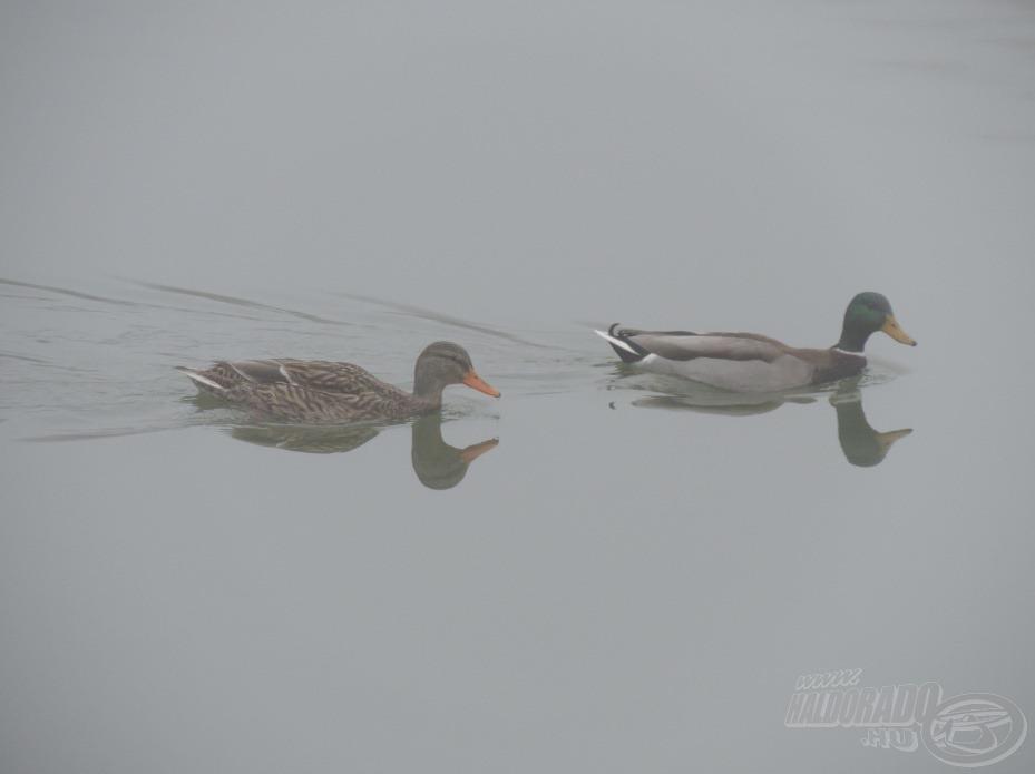 A kacsák nem fáznak a tó közepén…