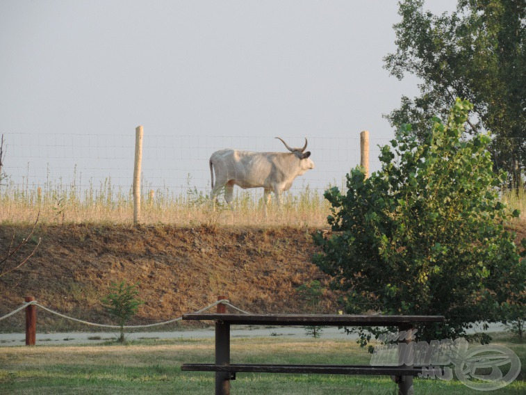 Egy gyönyörű magyar szürke marha is felbukkant a kerítés mögött