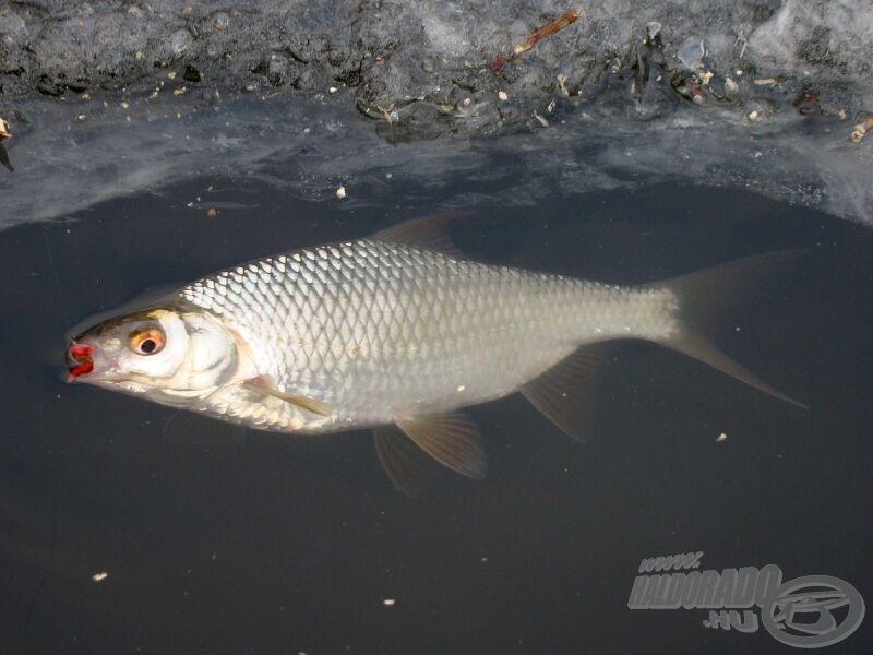 Szép látvány, amikor a sötét vízből előtűnik a hal