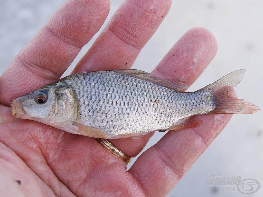 Kis ponty, a tóban gyönyörű, egészséges populáció él belőlük