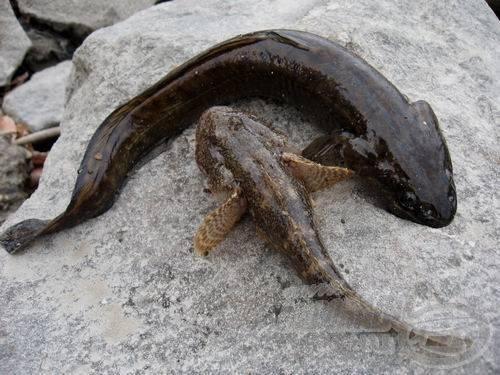 Ugyanott él, ahol a menyhal és együtt járnak préda után