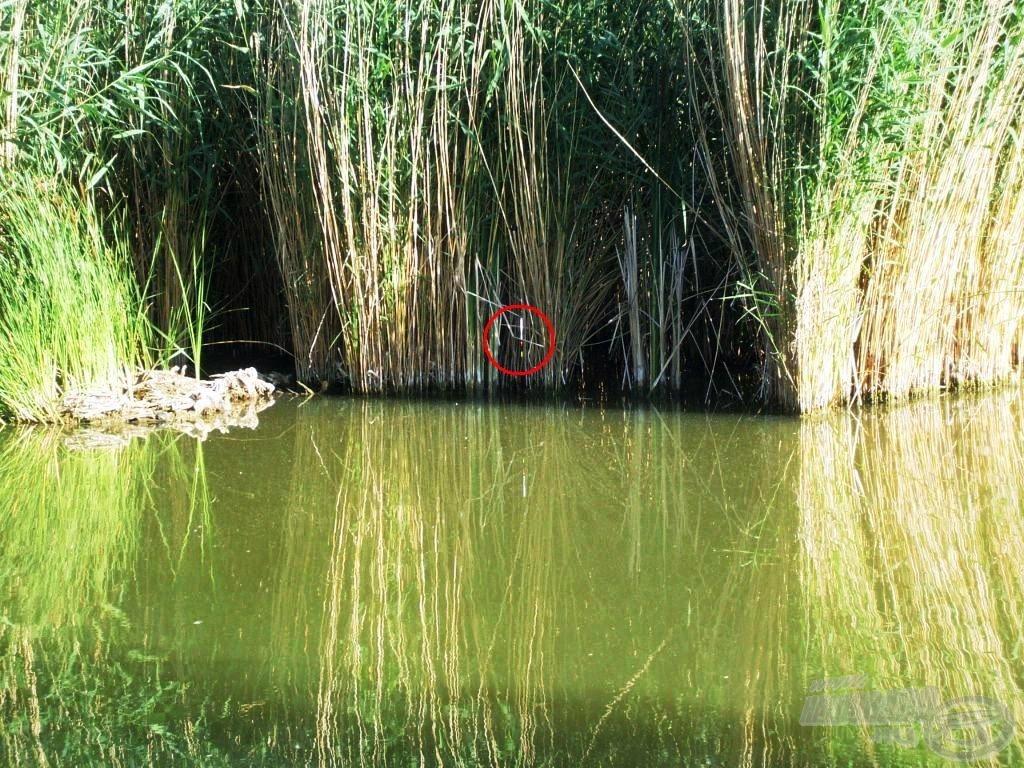Úszó a nádon