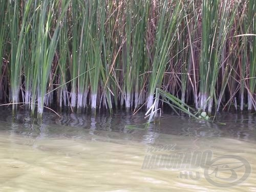 A szárak tövén jól látszik hol állt tegnap a víz