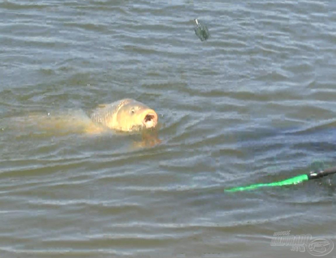 Amíg mi a csúzlival etettünk, feederboton megjelent az első testes hal a belső, 60 méterre lévő etetésről