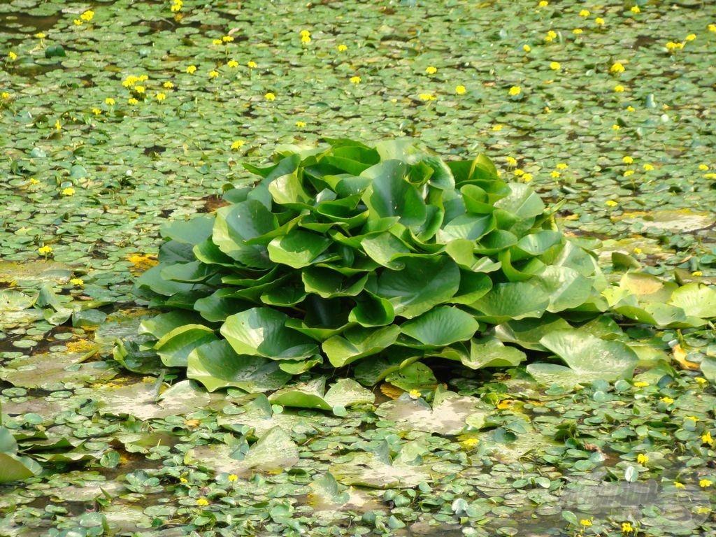 A tavirózsa is lassan ismét a víz alá kerül