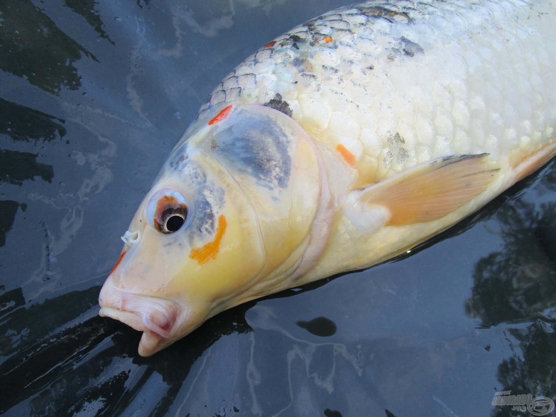 Koi pontyok is élnek a tóban. Ezek a különleges mintázatú halak hatalmas erővel küzdenek