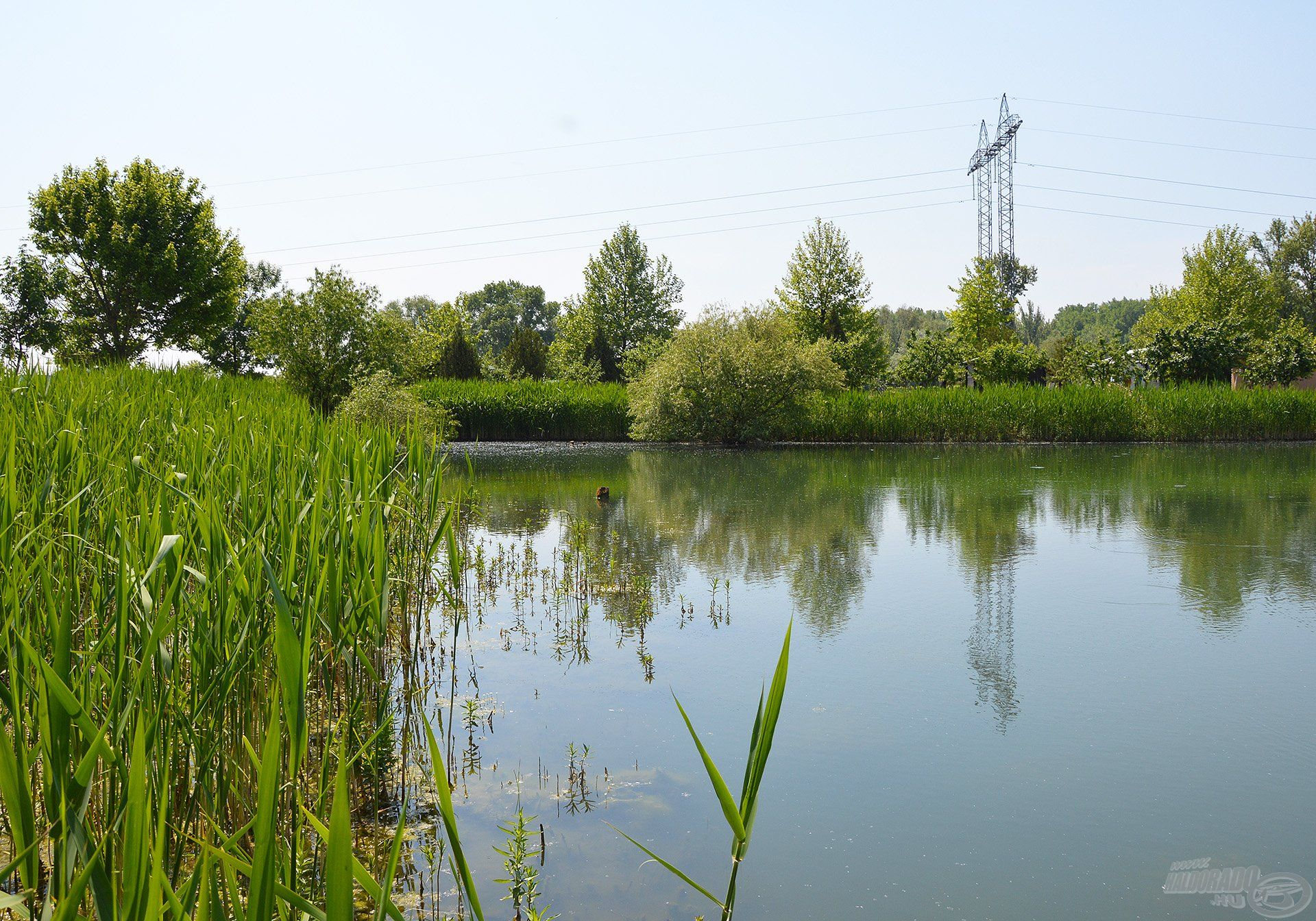 A tó partszegélyén rengeteg az üde, zöld vízinövény, ami mindig kínál bőséges mennyiségű friss, természetes táplálékot az amuroknak