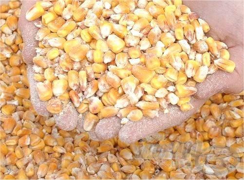 Száraz kukorica. Etetni és átfúrva a horgon is kitűnő