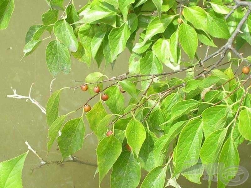 A látvány magáért beszél: A nyugati ostorfa vízbe lógó leveleit és terméseit minden bizonnyal előszeretettel fogyasztják az amurok