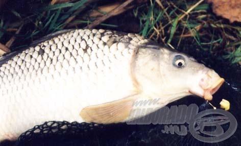 Az első kifogott ponty után az aprócska horgot nagyobbra cseréltem. Ezt követően a halak már nem nyelték mélyre a csalit, így jóval könnyebb volt a horogszabadítás.