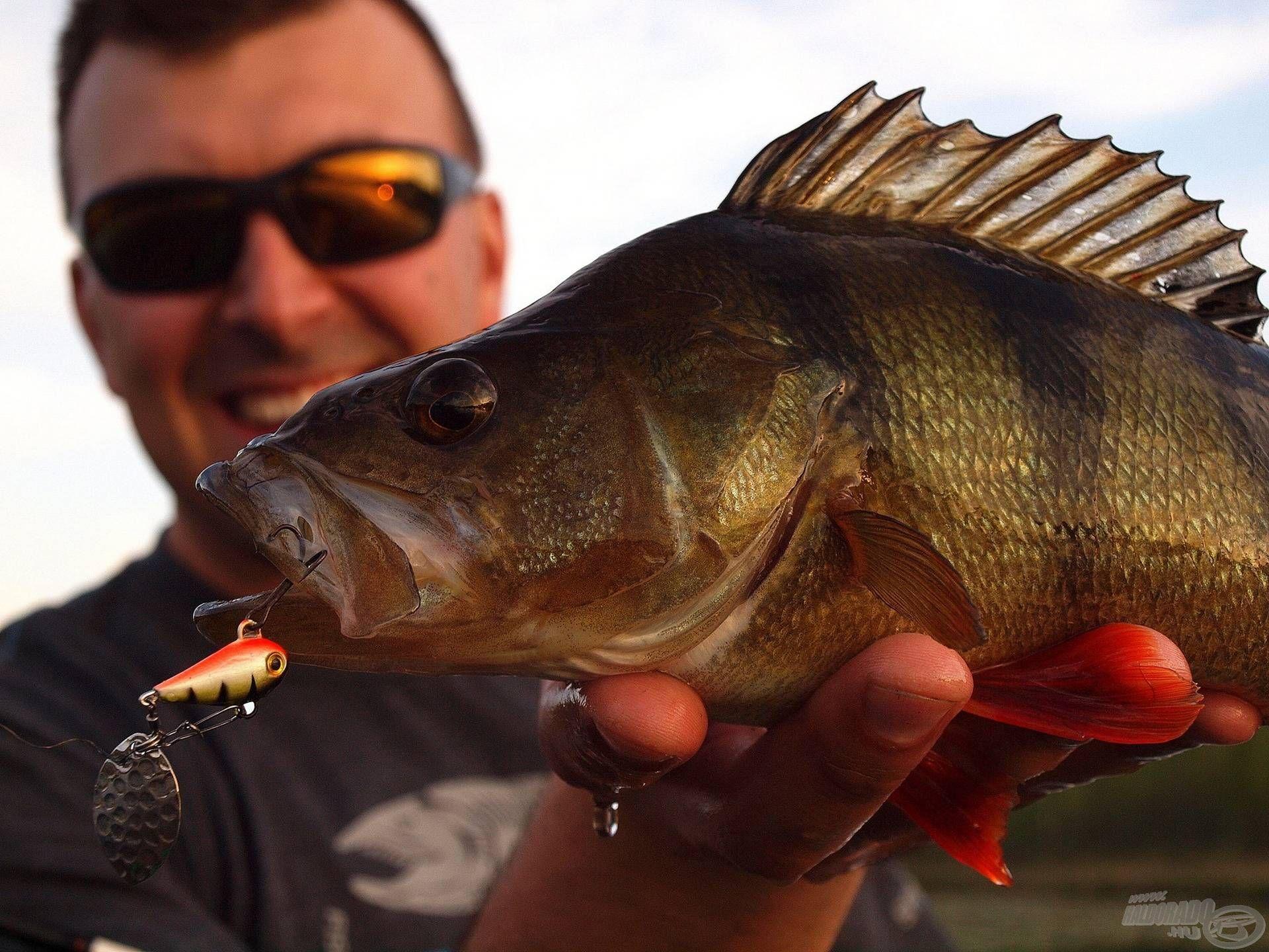 Élénk mozgásának az öreg, tapasztalt halak sem tudnak ellenállni