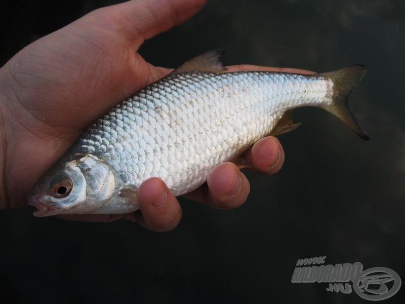 A tenyérnyi méret nem minden halnál mutat jól. E bodorka természetesen kivétel :-)