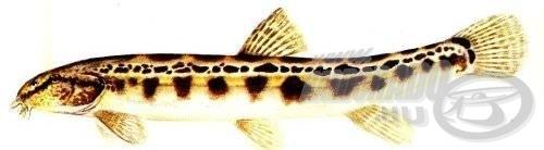 Törpecsík (Sabanejewia aurata aurata)