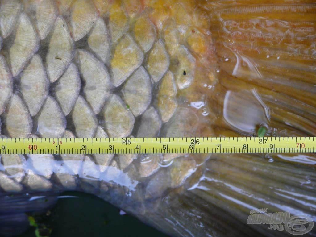 Törzshossza 66,5 cm
