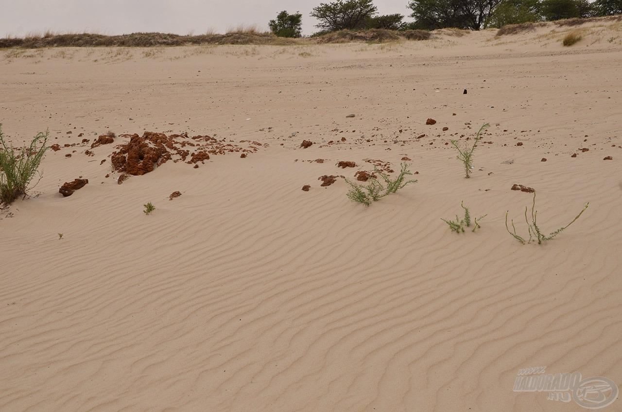 A mögöttünk található homokos part hasonló volt, mint a vízzel borított, felduzzasztott folyómeder. Ott is voltak lágyabb és keményebb mederszakaszok. A legjobb haltartó helyek a kemény részek voltak, ezeket kellett megtalálni!